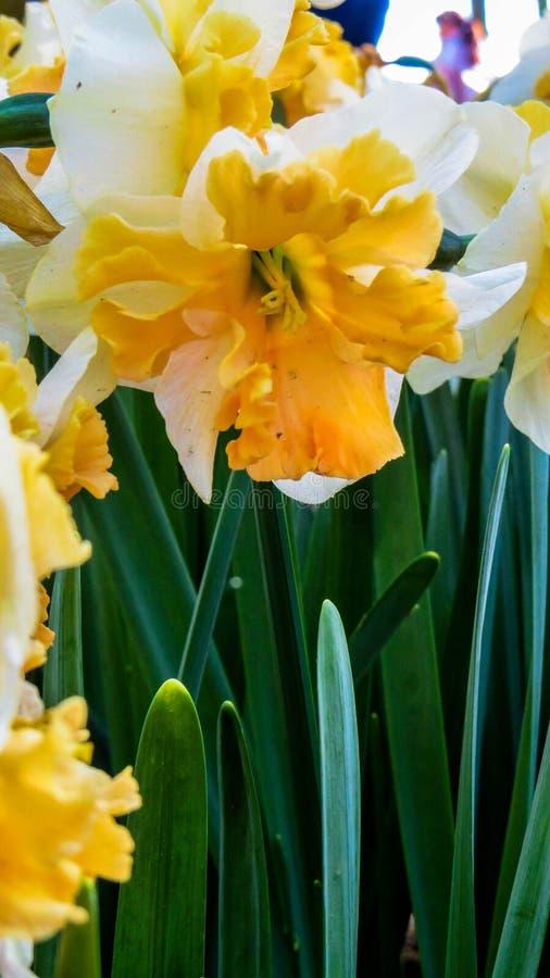 Narciso bicolor brillante fotos de archivo