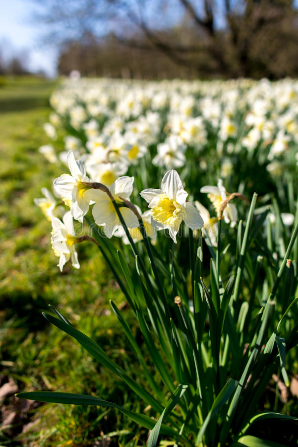 Narciso blanco fotos de archivo