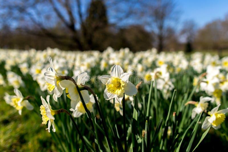 Narciso blanco fotografía de archivo