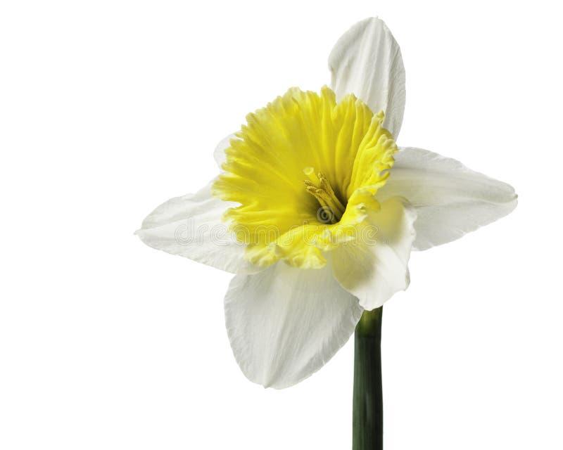 Narciso blanco y amarillo aislado fotografía de archivo libre de regalías