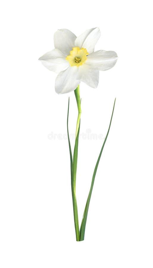 Narciso branco ilustração royalty free