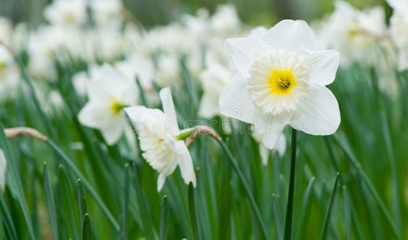 Narciso branco da flor da mola imagens de stock royalty free