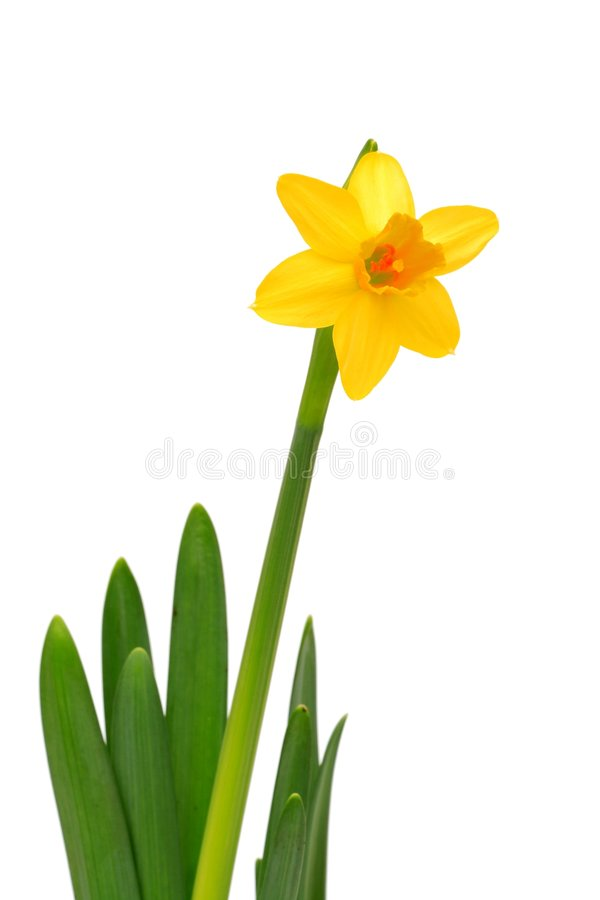 Narciso - Daffodil fotos de stock