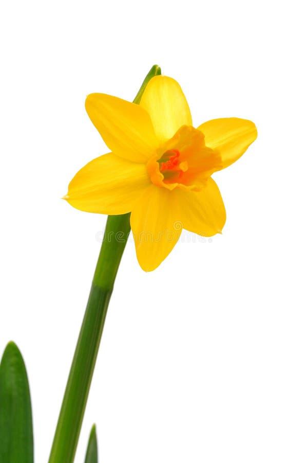 Narciso - Daffodil foto de stock
