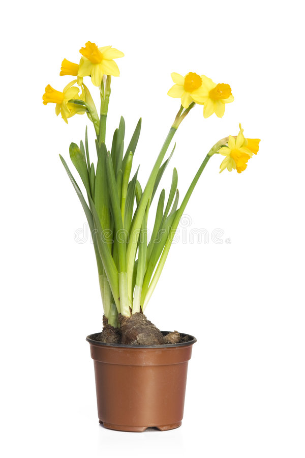 Narciso (Daffodil) fotos de stock royalty free