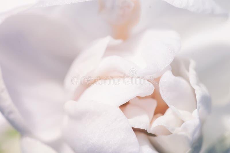 Narciso delicado floreciente de la primavera en colores pastel dulce, primer del narciso, textura, foco selectivo, flor suave fes fotos de archivo