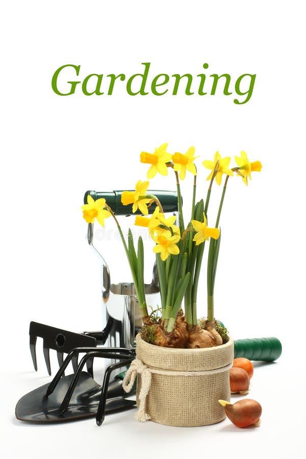 Narciso e ferramentas de jardinagem isoladas sobre o branco foto de stock royalty free