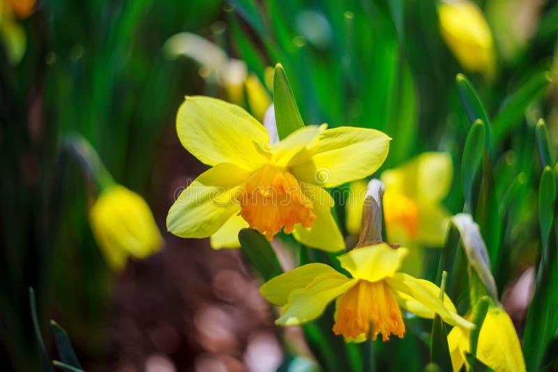 Narciso en la primavera de la primavera, verano, verano, encima de, caliente, amarillo fotos de archivo