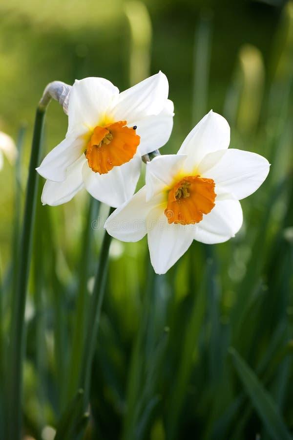 Narciso (género) imagens de stock
