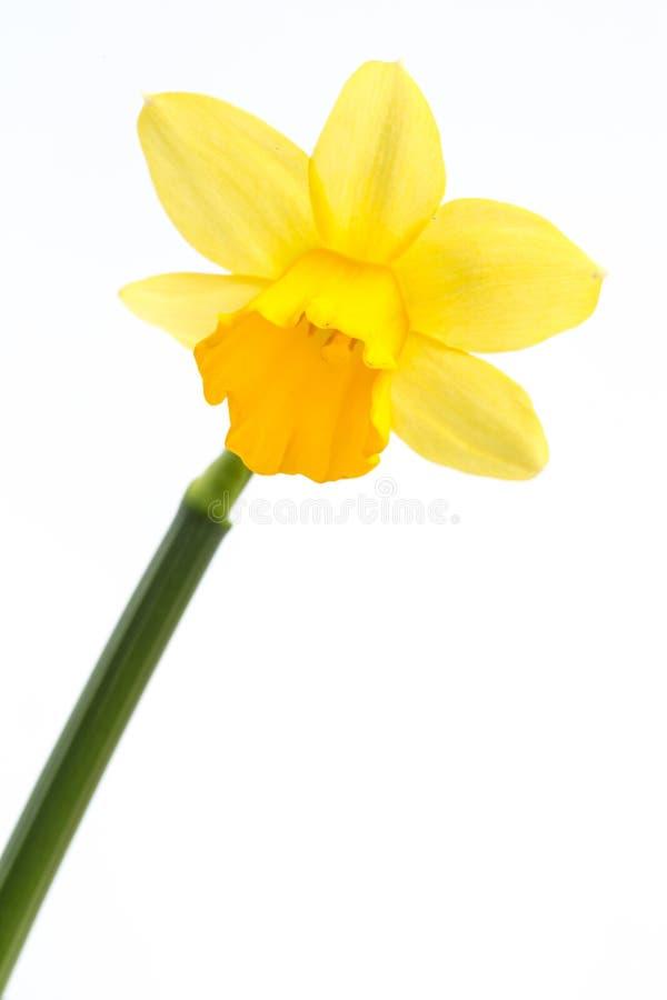 Narciso giallo in fioritura con il gambo immagine stock for Narciso giallo