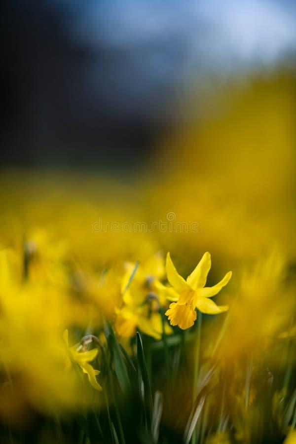 Narciso hermoso en una onda amarilla de estas flores de la primavera fotos de archivo libres de regalías