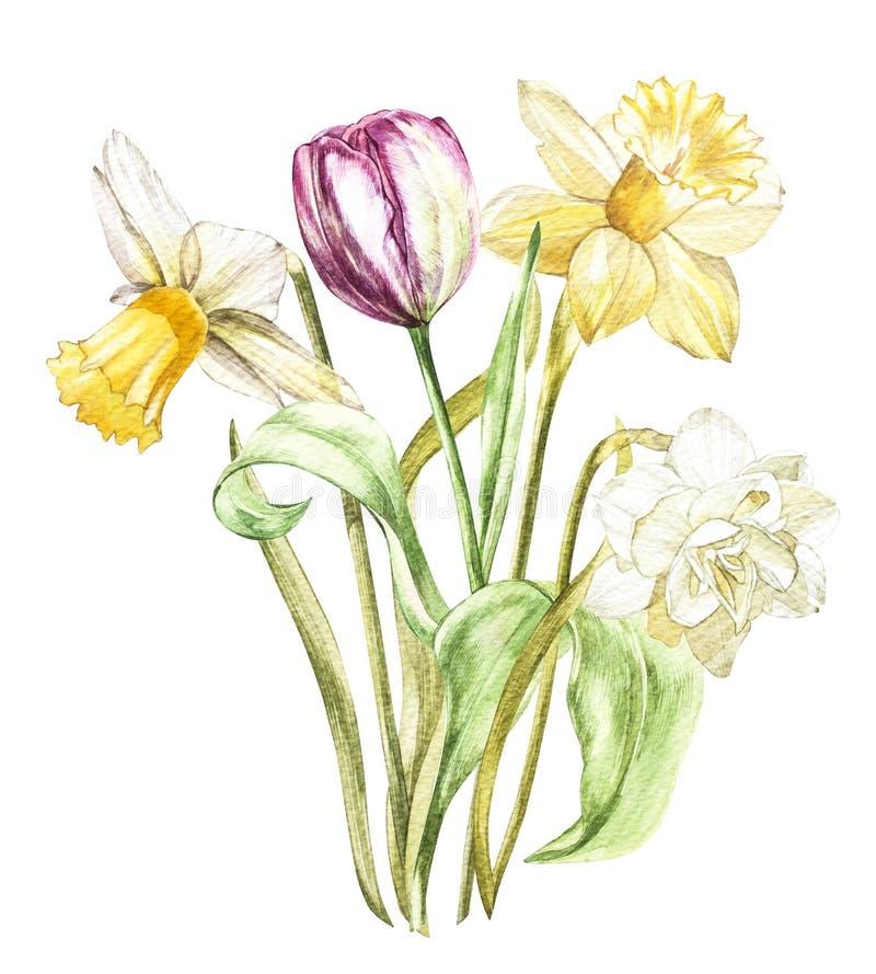 Narciso y tulipán de las flores de la primavera aislados en el fondo blanco Ejemplo dibujado mano de la acuarela ilustración del vector