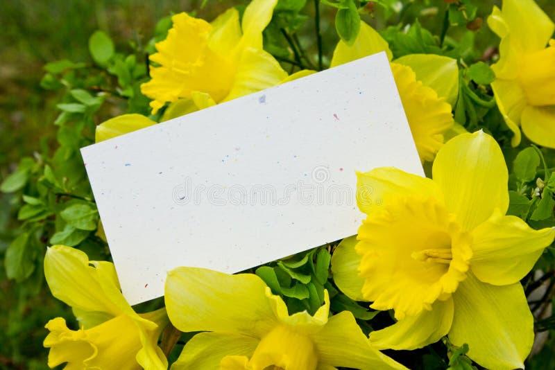 Narcisos amarelos foto de stock royalty free