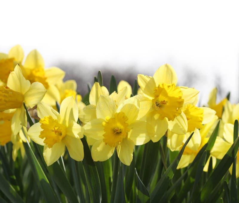 Narcisos amarelos amarelos imagem de stock royalty free