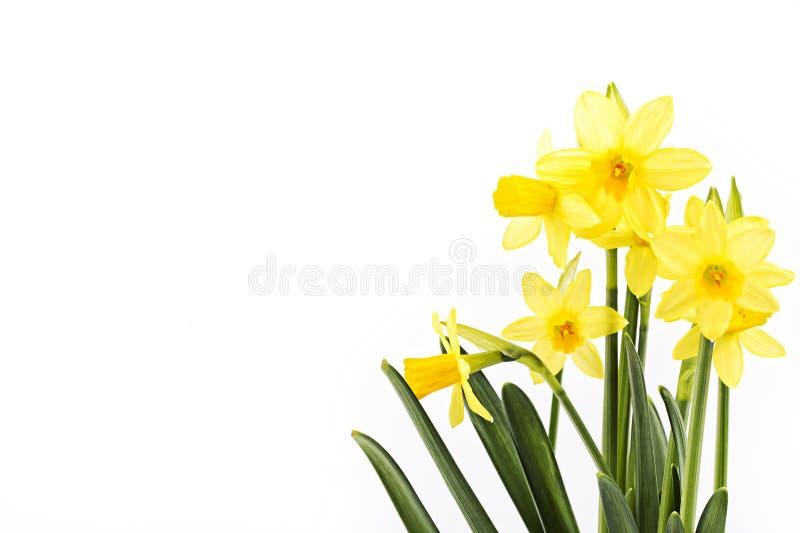 Narcisos amarelos amarelos fotos de stock