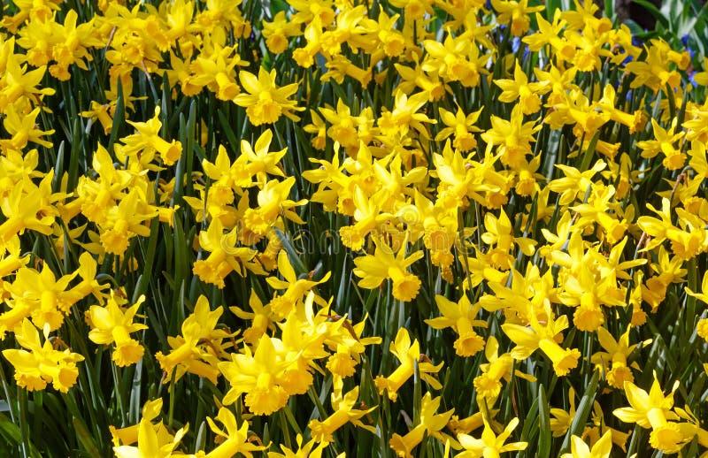 Narcisos amarelos amarelos (fundo da mola) fotografia de stock