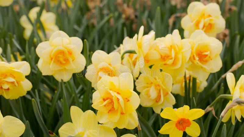Narcisos amarelos amarelos no Sun imagem de stock royalty free