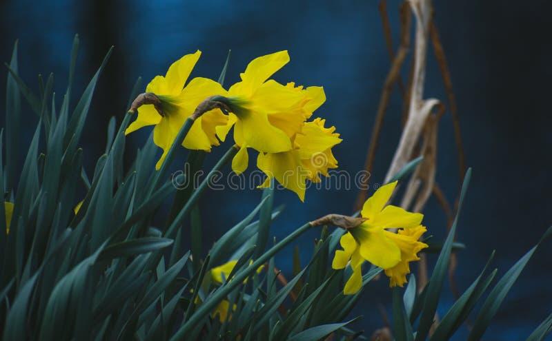 Narcisos amarelos ao lado da borda da água foto de stock