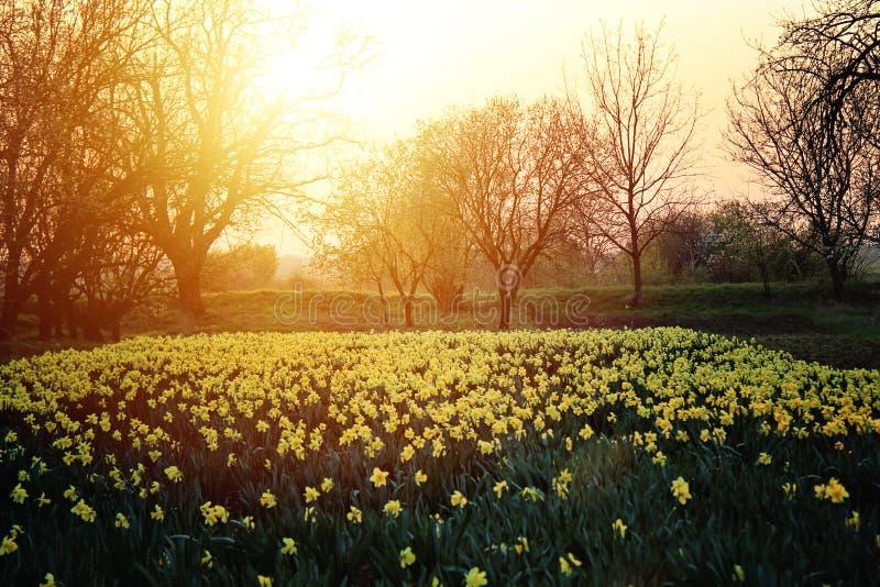 Narcisos amarelos bonitos Narcissus Field no por do sol imagens de stock