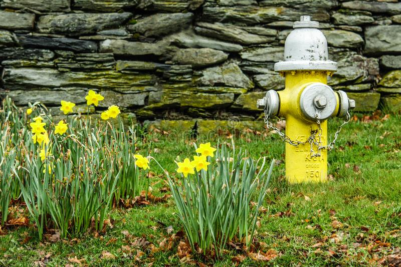 Narcisos amarelos amarelos brilhantes na mola ao lado da boca de incêndio de fogo amarela foto de stock