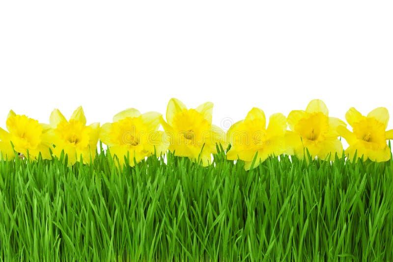 Narcisos amarelos da beira/amarelo da mola e grama verde isolados no whi fotos de stock royalty free