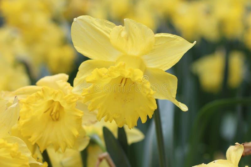 Narcisos amarelos da mola fotos de stock royalty free
