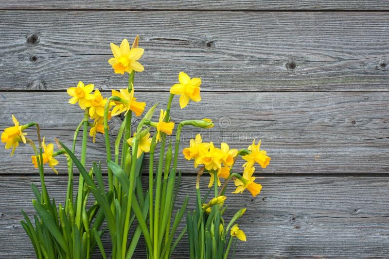 Narcisos amarelos da mola fotografia de stock royalty free