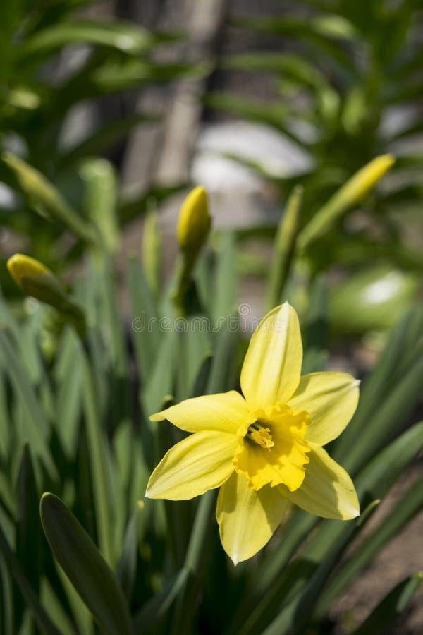 Narcisos amarelos de florescência da primavera fotos de stock royalty free