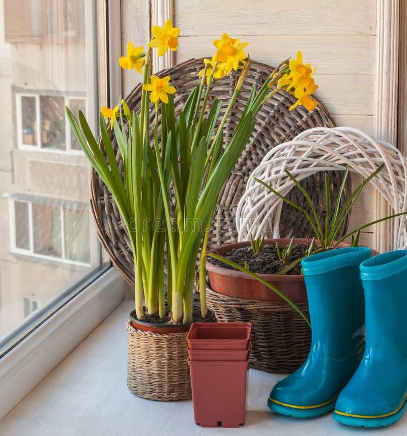 Narcisos amarelos e botas de borracha azuis fotografia de stock royalty free