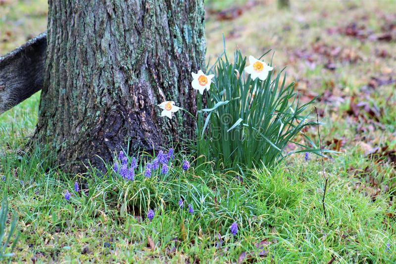 Narcisos amarelos e Hyacinth Bloom Beside Moss Covered Tree Trunk imagem de stock royalty free