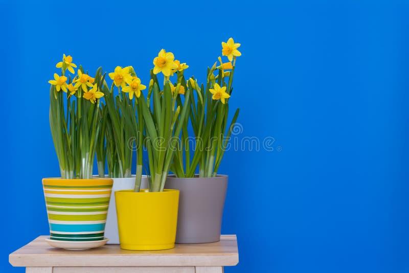 Narcisos amarelos em pasta do sprind amarelo isolados no fundo azul fotos de stock royalty free