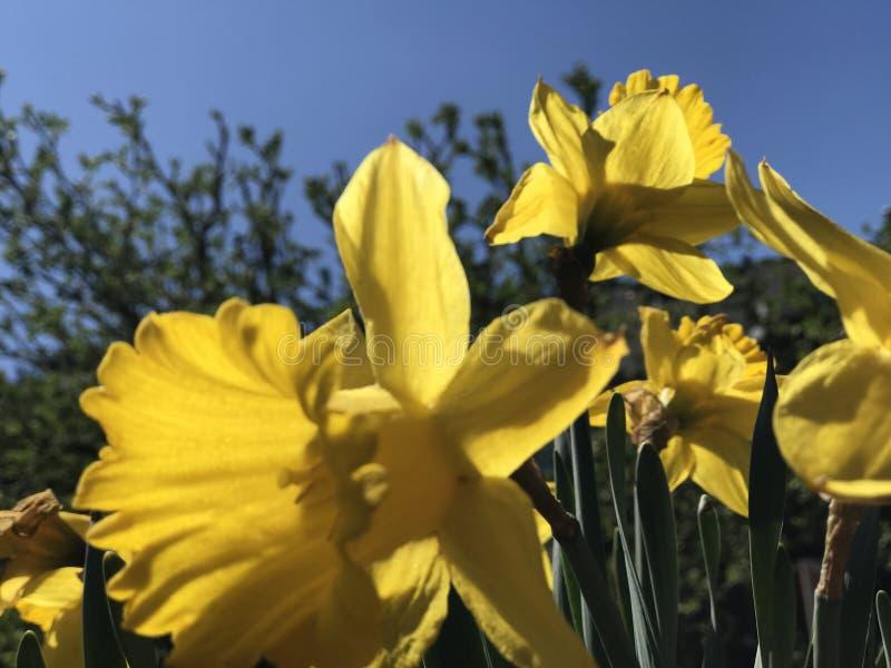 Narcisos amarelos em um dia de mola ensolarado imagem de stock royalty free