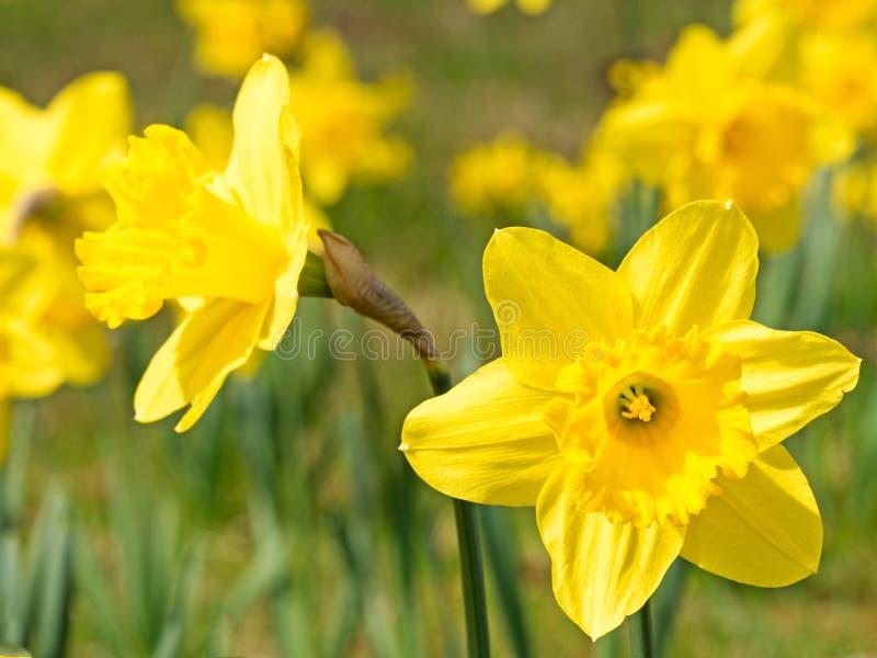 Narcisos amarelos na primavera imagem de stock royalty free