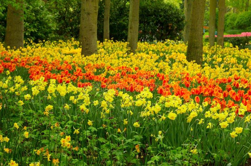 Narcisos amarelos no jardim da mola fotos de stock royalty free