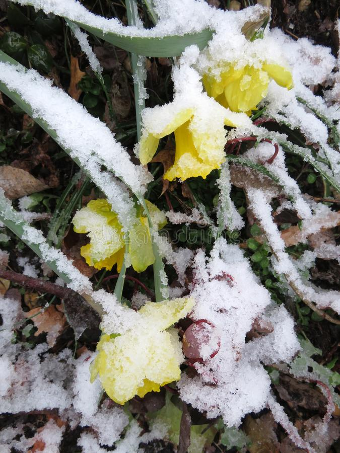 Narcisos amarelos travados pela tempestade da neve fotos de stock