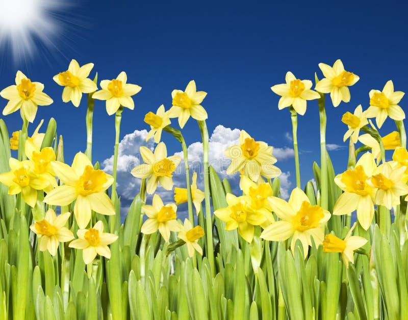 Narcisos amarillos con el sol y el cielo fotografía de archivo