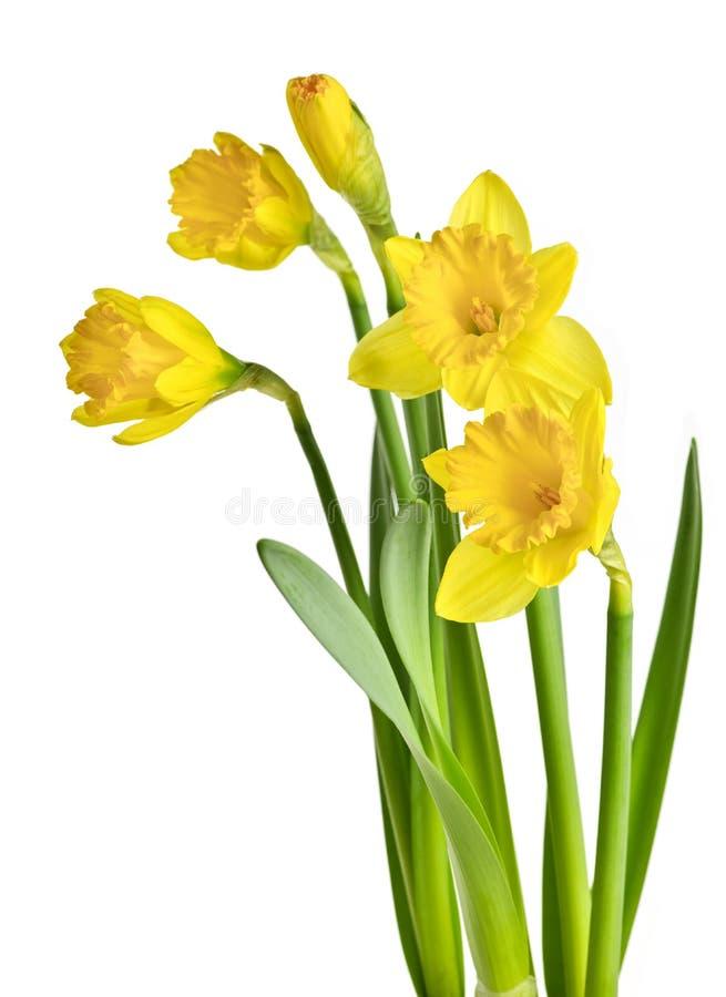 Narcisos amarillos del resorte foto de archivo