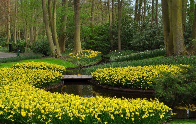 Narcisos amarillos en los jardines de Keukenhof imagen de archivo libre de regalías