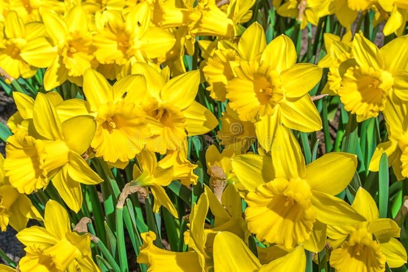 Narcisos amarillos, en un día soleado, cierre para arriba fotos de archivo
