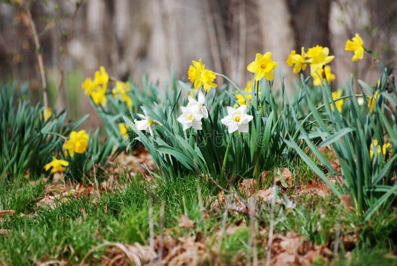 Narcisos amarillos y blancos en un campo fotos de archivo libres de regalías