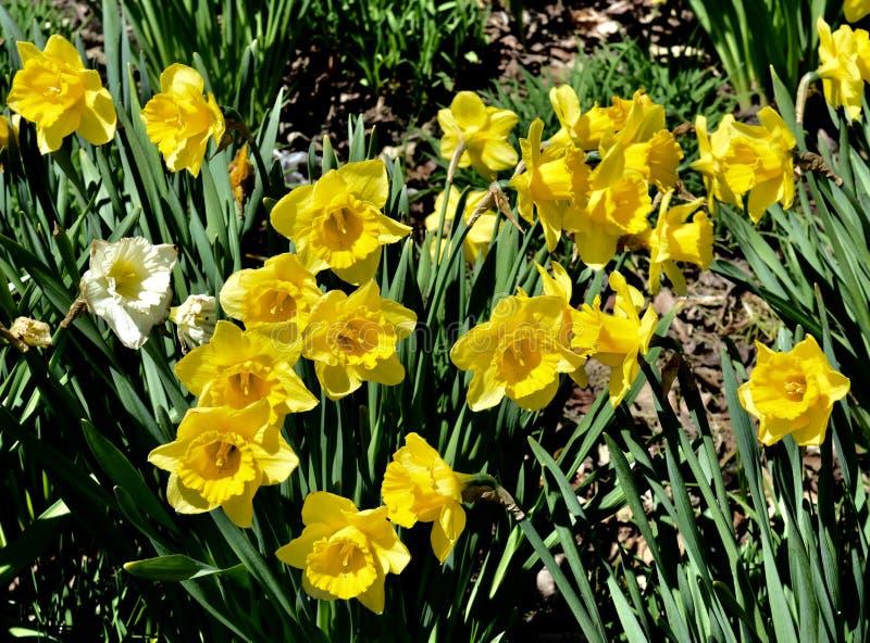 Narcisos de la primavera imágenes de archivo libres de regalías