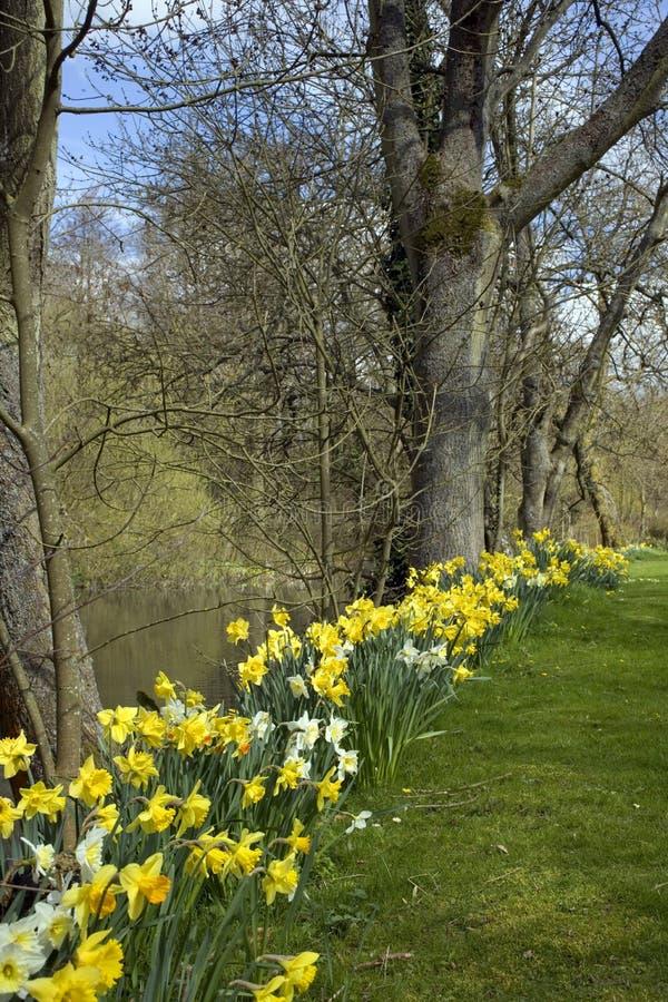 Narcisos de la primavera en fila imagen de archivo