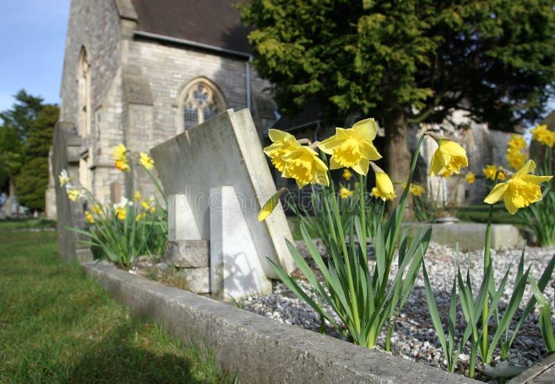 Narcisos en cementerio fotografía de archivo