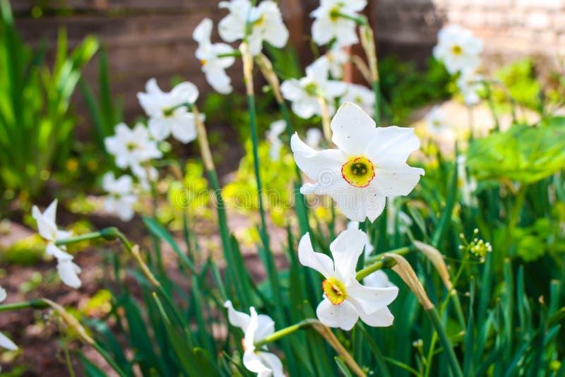 Narcisos en la cama casera Ci?rrese para arriba de las flores blancas imagen de archivo