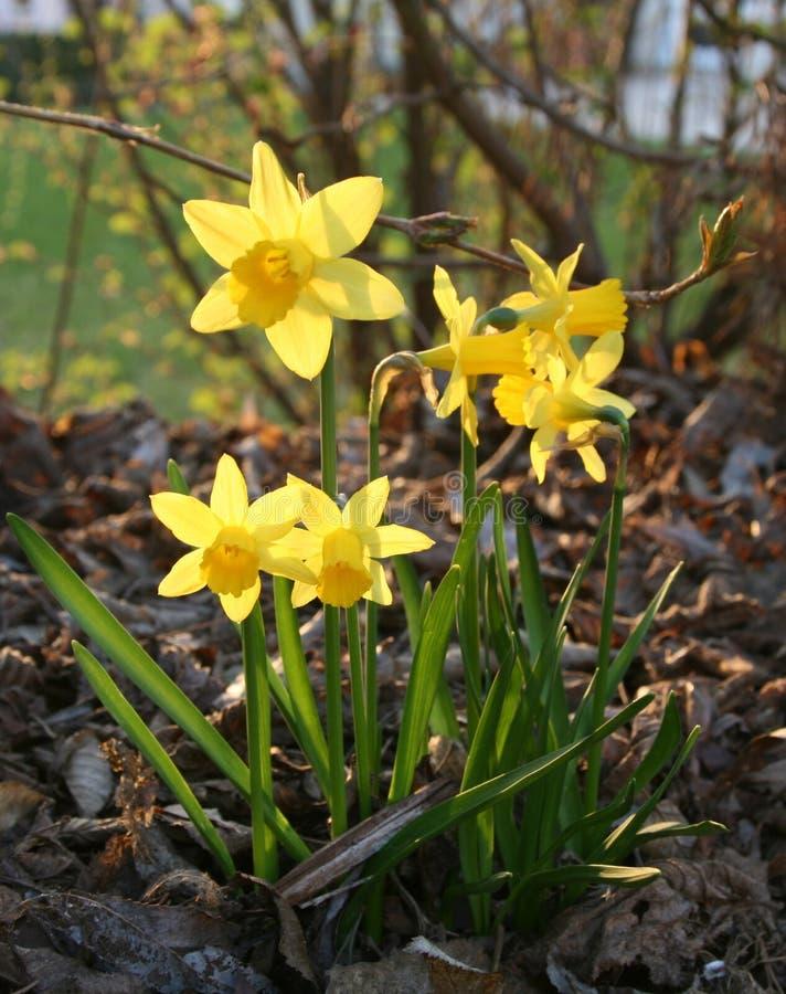 Narcisos en la floración imagen de archivo