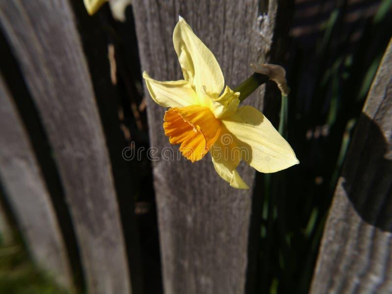 Narcisos en un jardín de Lancashire foto de archivo libre de regalías