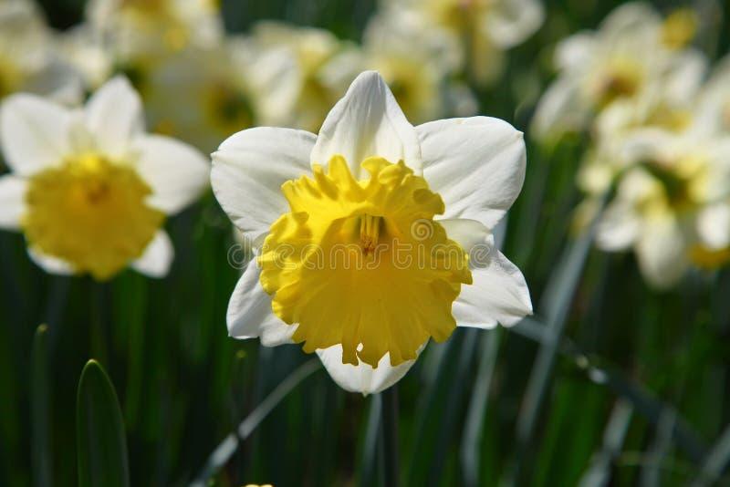 Narciss som utomhus växer i solljus royaltyfri fotografi