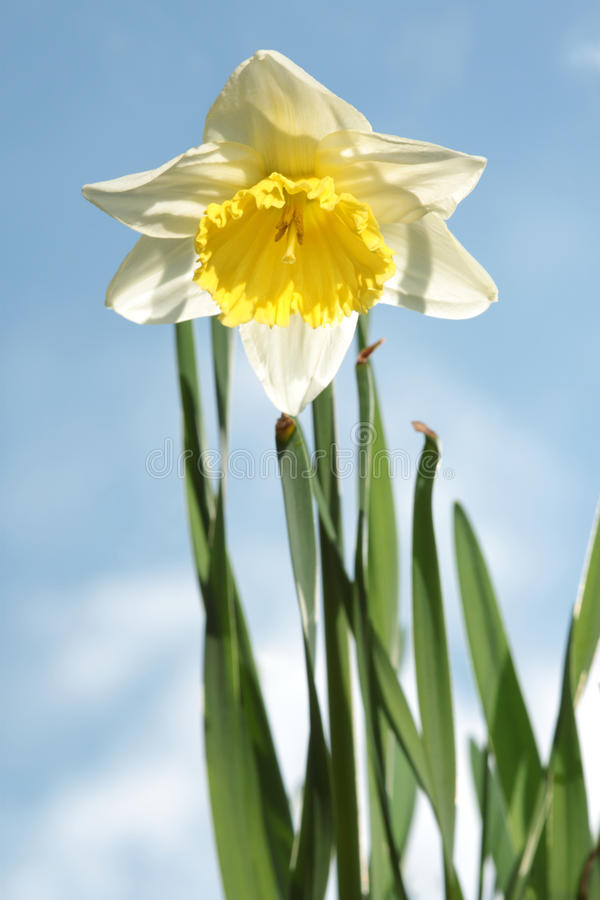narcisse photographie stock