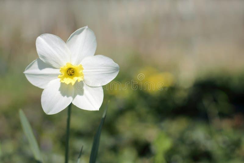 Download Narcisse De Fleur De Ressort Photo stock - Image du simple, couleur: 76077118