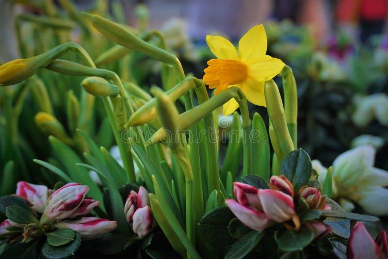 Narcisse et boutons jaunes photos stock